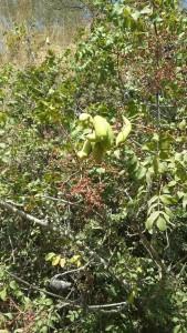 Die Früchte des Pistazienbaums
