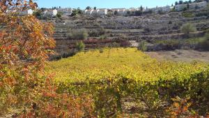 Ansicht auf Efrat. Im Vordergrund: Weinstöcke arabischer Weinbauern