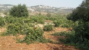 Trauben auf einem arabischen Feld
